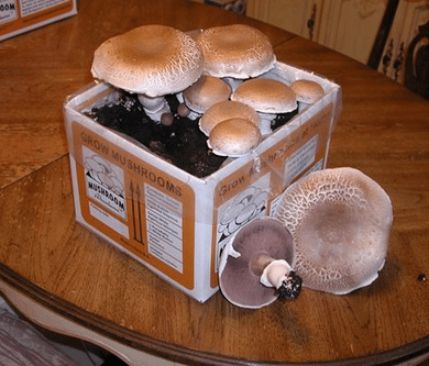 Portabella Mushroom kit grow portabella Mushrooms at home